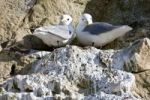 Thumbnail Two Black legged Kittiwakes (Rissa tridactyla)