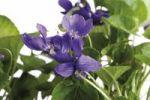 Thumbnail Sweet Violets (Viola odorata)