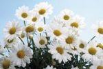 Thumbnail Marguerites (Leucanthemum)