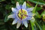 Thumbnail Purple Passionflower (Passiflora incarnata), blossom