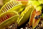 Thumbnail Fly in the Venus Flytrap (Dionaea muscipula)