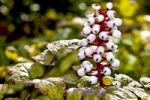 Thumbnail White Baneberry (Actaea pachypoda) fruit
