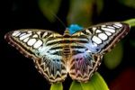 Thumbnail Clipper butterfly (Parthenos sylvia)