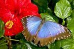 Thumbnail Peleides Blue Morpho (Morpho peleides)