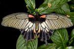 Thumbnail Great Mormon (Papilio memnon)