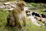 Thumbnail Sitting Barbary Macaque monkey (Macaca sylvanus)