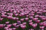 Thumbnail Field of tulips (Tulipa), Landesgartenschau, National Garden Show, Schleswig, Germany