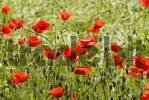 Thumbnail poppy seed flowers in a field of barley near Bad Neustadt Lower Bavaria Germany
