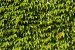 Thumbnail house wall with ivy Hedera helix in Beilngries in the Altmuehl valley Upper Bavaria Germany