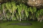 Thumbnail Spring Fuente San Juan, black maidenhair fern, Puntallana, La Palma, Canary Islands, Spain