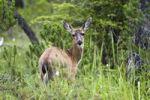 Thumbnail Sitka Black-tailed Deer (Odocoileus hemionus), female, Mitkof Island, Southeast Alaska, Alaska, USA, North America