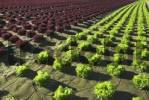 Thumbnail Red and green heads of lettuce growing in a field, Lower Saxony, Germany