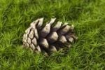 Thumbnail Pine cone on moss