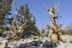 Thumbnail Bristlecone Pines (Pinus aristata), between 2000 and 3000 years old, Bristlecone Pine Grove, Great Basin National Park, Nevada, USA
