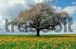 Thumbnail Blooming apple tree in dandelion meadow, Baden-Wurttemberg, Germany