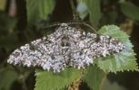 Thumbnail Peppered moth (Biston betularia), male