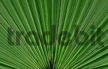 Thumbnail Fan palm leaf