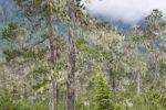 Thumbnail Pine trees covered with bearded lichens (Usnea longissima), Mitkof Island, Southeast-Alaska, Alaska, USA, North America