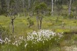 Thumbnail Bog with Cotton Grass, Mitkof Island, Southeast-Alaska, Alaska, USA, North America