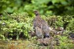 Thumbnail Spruce Grouse (Falcipennis canadensis franklinii), female with chick, Mitkof Island, Southeast-Alaska, Alaska, USA, North America