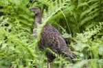 Thumbnail Spruce Grouse (Falcipennis canadensis franklinii), female, fern, Mitkof Island, Southeast-Alaska, Alaska, USA, North America