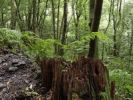 Thumbnail Fern on tree stump, Laurisilva, El Canal y Los Tilos Biosphere Reserve, La Palma, Canary Islands, Spain