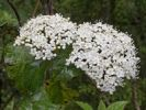 Thumbnail Laurestine (Viburnum tinus), blossoms, Los Tilos, La Palma, Canary Islands, Spain