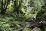 Thumbnail Creek bed in a Laurisilva, Cubo de la Galga, El Canal y Los Tilos Biosphere Reserve, La Palma, Canary Islands, Spain