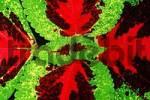 Thumbnail Painted Nettle / Coleus blumei, Solenostemon scutellarioides