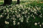 Thumbnail Daffodils / Narcissus pseudonarcissus