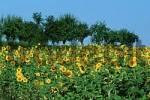 Thumbnail Sunflower field, Baden-Wurttemberg, Germany / Helianthus spec.