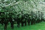 Thumbnail Blooming Apple Trees, apple plantage, Baden-Wurttemberg, Germany