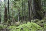 Thumbnail Virgin Coniferous Forest, Inside Passage, Southeast Alaska, USA, North America