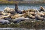 Thumbnail Steller Sea Lions (Eumetopias jubatus) resting, Inside Passage, Alaska, USA