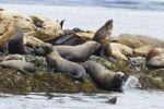 Thumbnail Steller Sealions (Eumetopias jubatus), Inside Passage, Alaska, USA