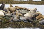 Thumbnail Steller Sealions (Eumetopias jubatus), Inside Passage, Alaska, USA, North America