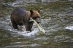 Thumbnail Brown Bear (Ursus arctos) with salmon, Pack Creek, Tongass National Park, Admiralty Island, Inside Passage, Island, Alaska, USA, North America