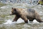Thumbnail Brown Bear (Ursus arctos) catching salmon, Admiralty Island, Inside Passage, Alaska, USA, North America