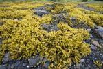 Thumbnail Brown Algae, Rockweed (Fucus gardneri), Pleasant Bay, Admiralty Island, Inside Passage, Alaska, USA, North America