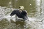 Thumbnail Black Bear (Ursus americanus) catching salmon, Alaska, USA