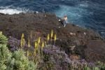 Thumbnail Blossoming plants above a rocky coast near San Andrés, La Palma, Canary Islands, Spain