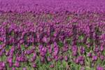 Thumbnail Tulip field, Netherlands / Tulipa spec.