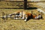Thumbnail A Foal pulli equinus is sleeping