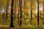Thumbnail Beech forest in autumn, North Rhine-Westfalia, Germany / Fagus sylvatica
