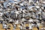 Thumbnail Snow Geese, Bosque del Apache, New Mexico, USA / Anser caerulescens