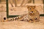 Thumbnail Cheetah (Acinonyx jubatus soemmerring), in a vivarium, Sir Bani Yas Island, Abu Dhabi, United Arab Emirates, Arabia, Near East, Orient