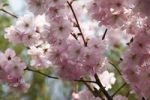 Thumbnail Japanese Cherry (Prunus serrulata), blossoms on a branch