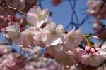 Thumbnail Japanese cherry (Prunus serrulata) blossoming