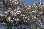 Thumbnail Magnolia (Magnolia), blossoms on a tree