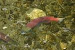 Thumbnail Sockeye salmon (Oncorhynchus nerka) in spawning season, Alaska, USA, North America